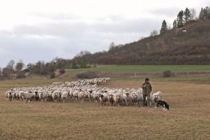 ziehende Schafe